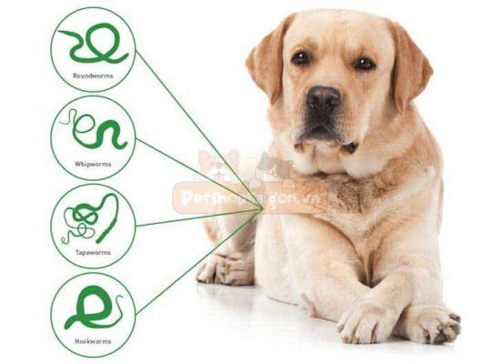 Tẩy giun cho chó và những vấn đề bạn cần phải biết?
