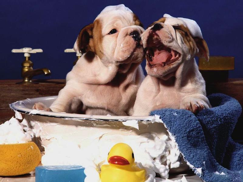 Các loại dầu tắm dành cho chó con an toàn?