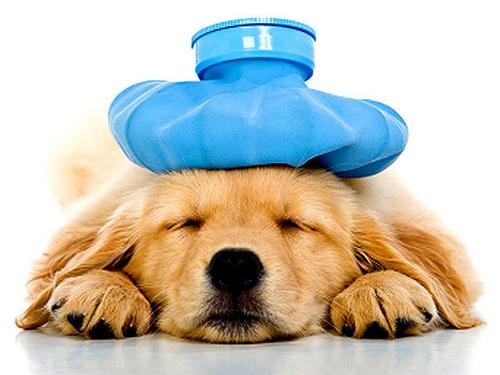 Bệnh viêm phế quản ở chó mèo, triệu chứng và cách phòng trị?
