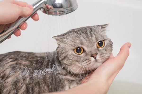 Tắm cho mèo như thế nào mới đúng?