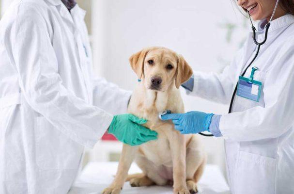 Cách nhận biết chó mắc bệnh Pravo?