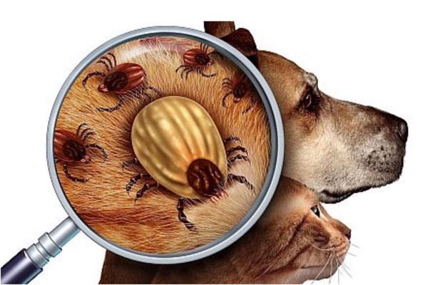 Bọ chét là gì? Bọ chét gây nguy hiểm cho thú cưng như thế nào?