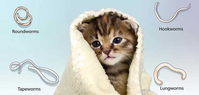Tẩy giun cho mèo bằng cách nào? Cách tẩy giun tại nhà cho mèo?