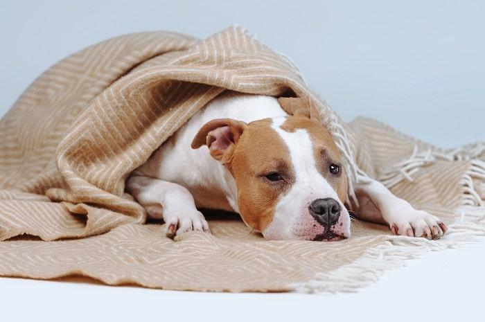Những dấu hiệu cho thấy chó bị sốt