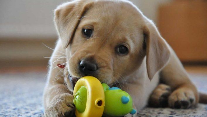 Chó Labrador ăn gì để lông mượt và phát triển to khỏe