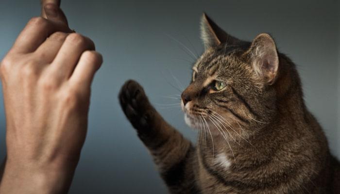 Khẩu lệnh huấn luyện mèo