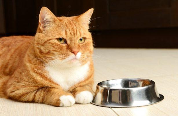 Giúp mèo béo lên nhờ thực đơn