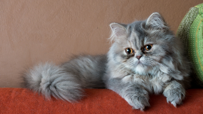 Có nên cung cấp taurine cho mèo không?